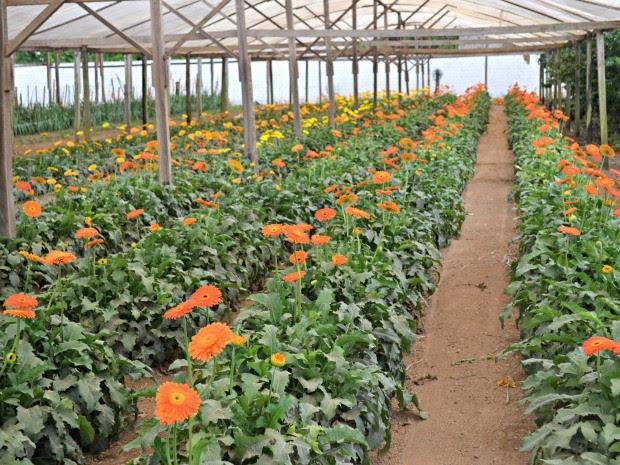 Festas de fim de ano também aquecem o comércio de flores, diz produtora (Foto: Lauane Sena/G1)