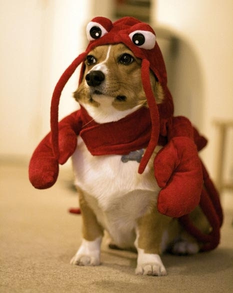 poze amuzante haioase caini Halloween animale aww corgi cute dog lobster