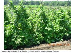 Garden Plot Shunguang Kentucky Wonder pole beans