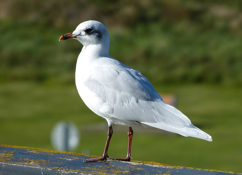 28811 - Mediterranean Gull, Bracelet Bay