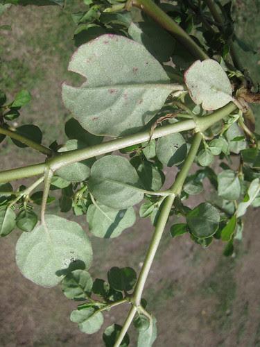 Pigweed2