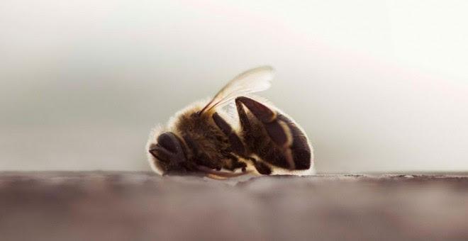 Una abeja muerta en un campo de almendros de Valencia. GREENPEACE