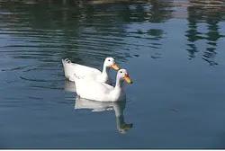 Ducks (illustrative)