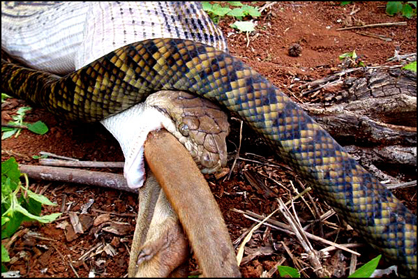 Snake Swallowing Kangaroo 12