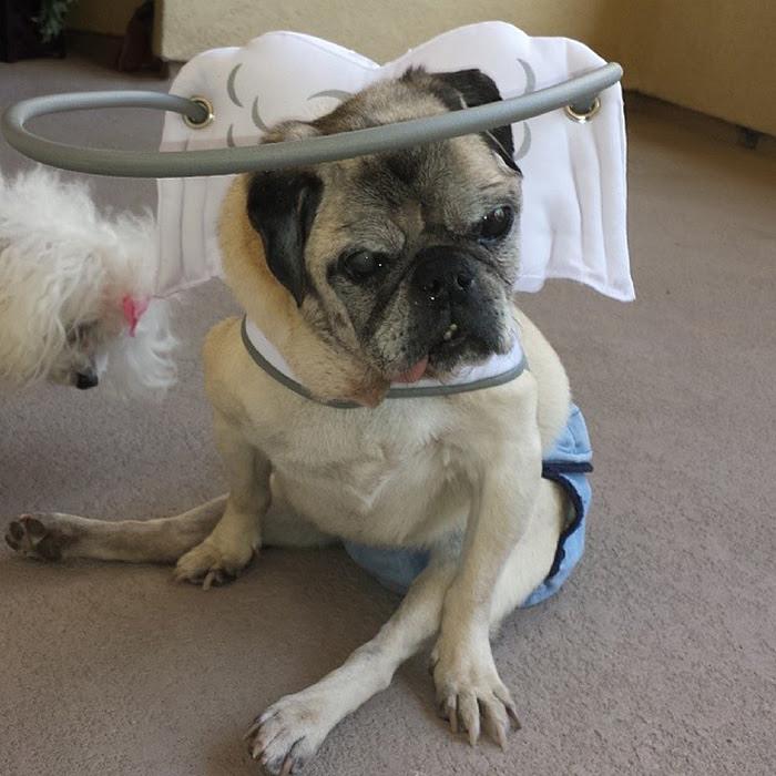 blind-dog-safety-device-muffins-halo-15