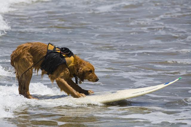Perros surfistas - Dog surfers