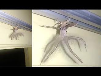 Extraña Criatura con alas y Tentáculos Irrumpe en una Casa