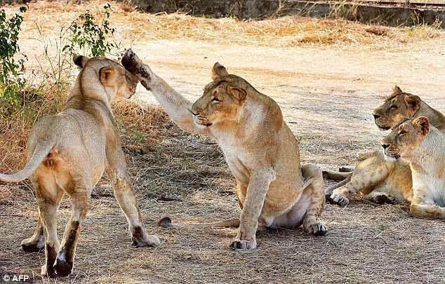 Disovery Channel's India's Wandering Lions captures the tolerance of the people to the big cats living in Gujarat's Gir lion sanctuary