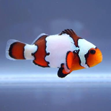 Ini 14 Jenis Baru Nemo, Ikan Hias Primadona Ekspor ...