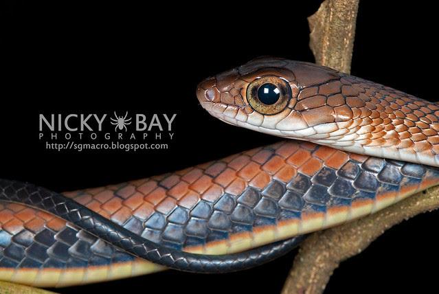 Bronzeback Snake (Colubridae, Dendrelaphis sp.) - DSC_5902