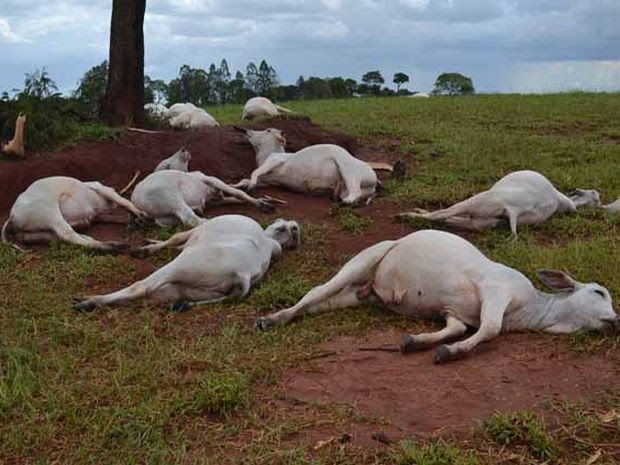 Mais de 20 cabeças de gado foram atingidas pelo raio (Foto: Reprodução / TV TEM)