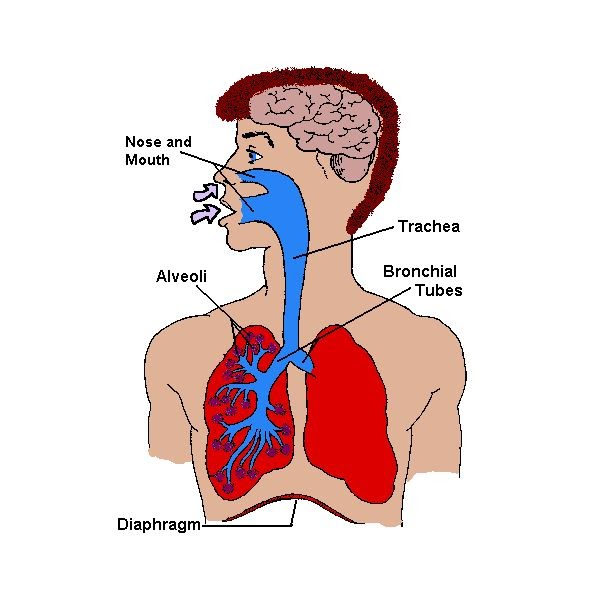 Lungs Diagram Of A Smoker After Smoking Cancer Anatomy And Heart Drawing Images After Smoking