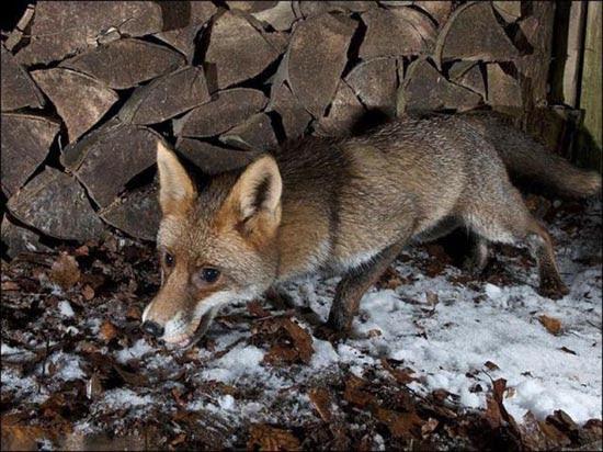 Πονηρή η αλεπού, αλλά πιο πονηρός ο φωτογράφος (4)