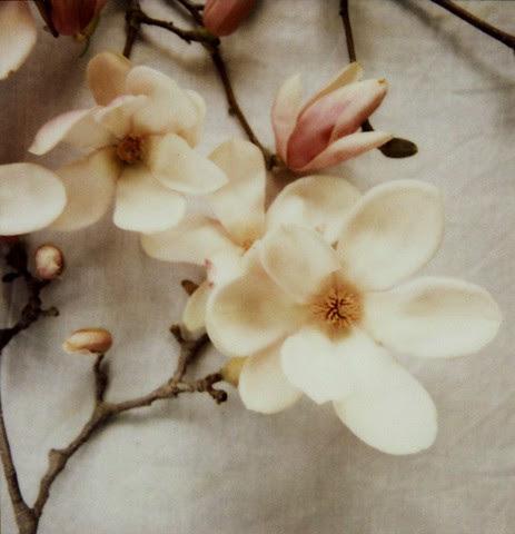 magnoliaaliciabock