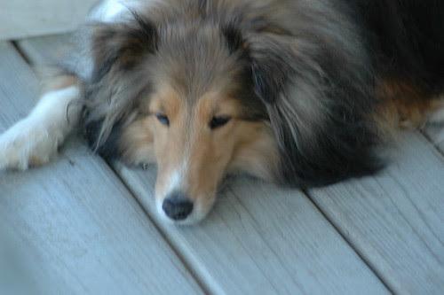 golden retriever mixed with german shepherd puppies. He has golden retriever, chow,