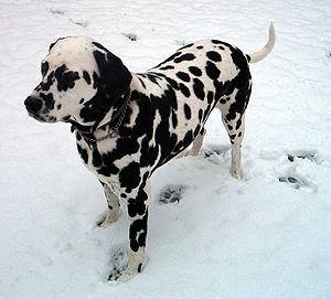 Dalmatian companion.