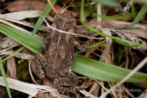 American toad (Anaxyrus americanus)-1.jpg