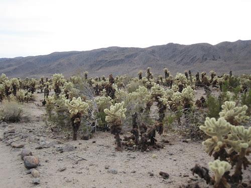 cholla cactus garden - joshua tree
