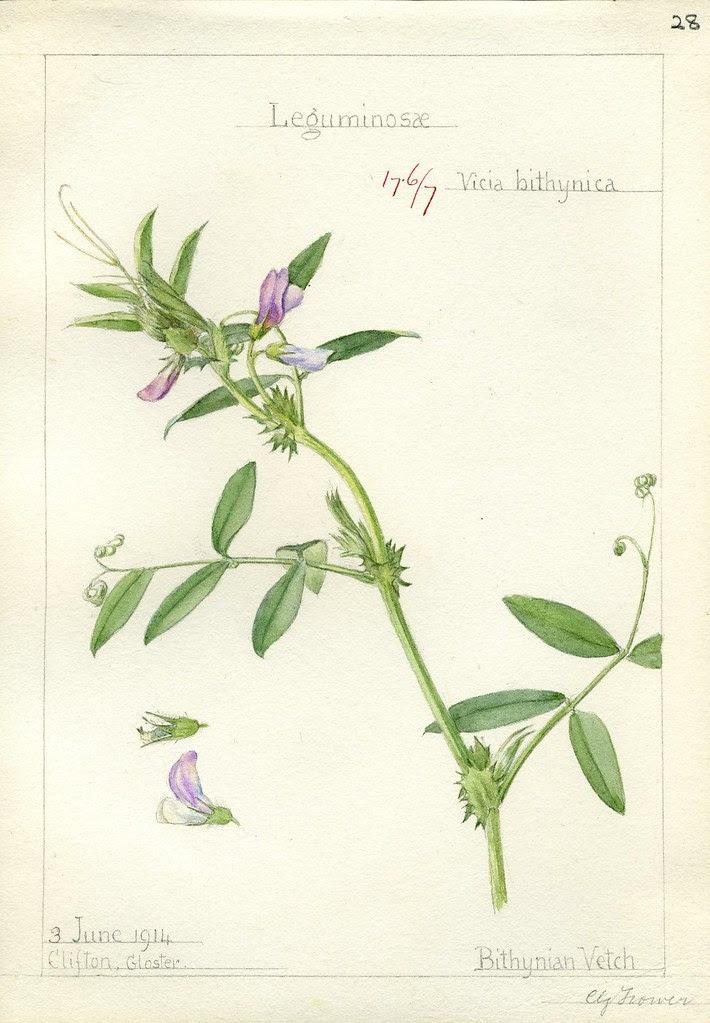 Vicia bithynica 1914