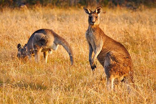 Kosciuszko National Park, New South Wales, Australia, kangaroos IMG_8178_Kangaroos_Kosciuszko_National_Park