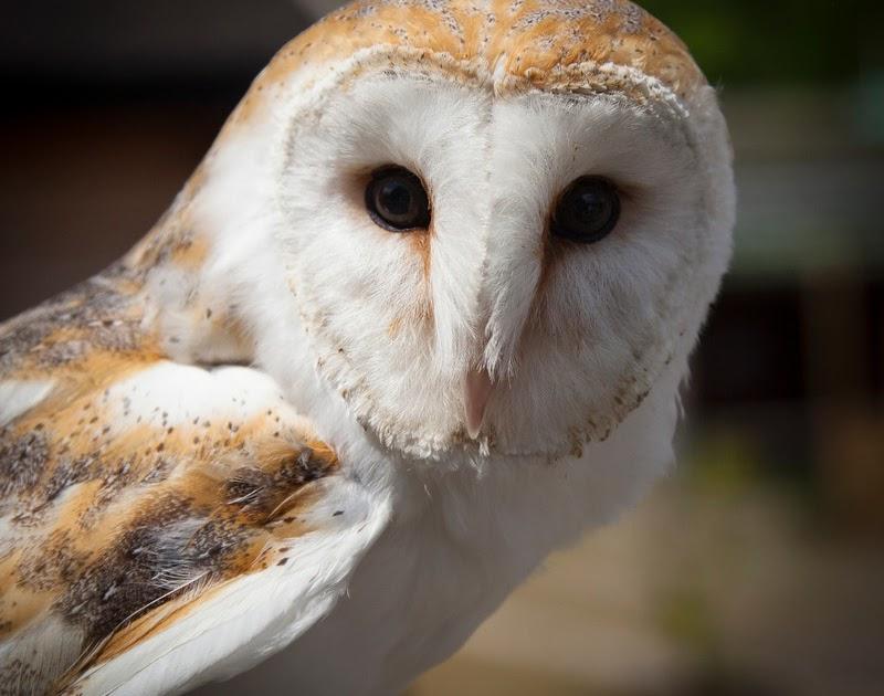 Tyto Alba Si Ganteng Burung Hantu Muka Putih Koleksi Baru