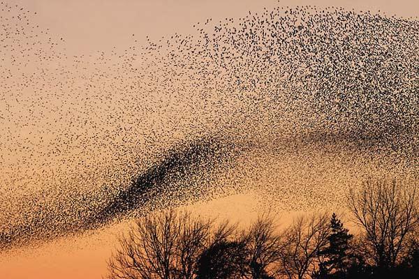 perierga.gr - Ο χορός των πτηνών στον αέρα!