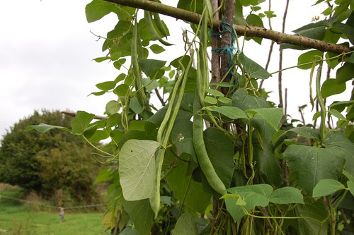 trenched beans