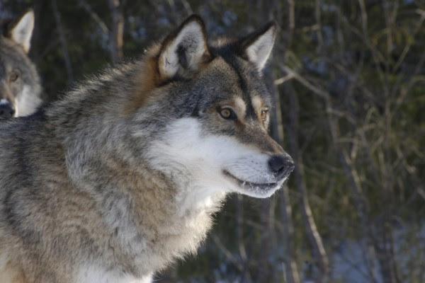 Lobo Con Nieve En El Hocico 63248