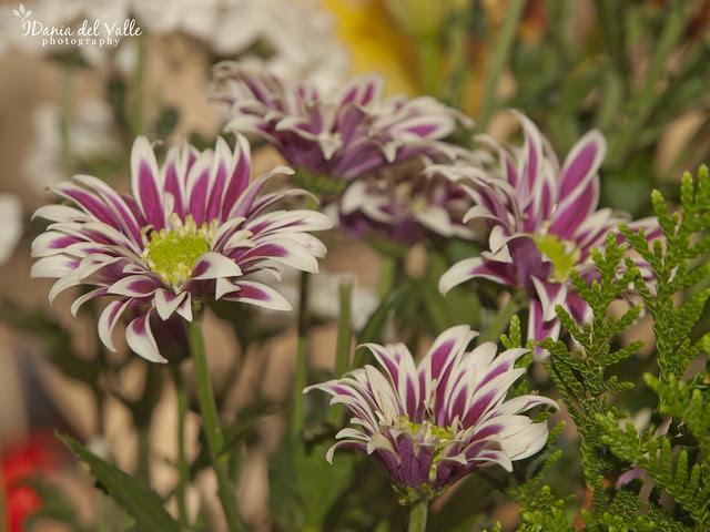 purple_daisys_original
