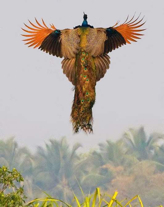 Unusual Photo - flying peacock