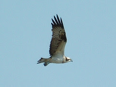 ミサゴ Osprey