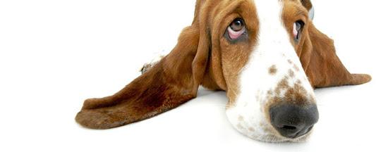 basset hound by pinkat13
