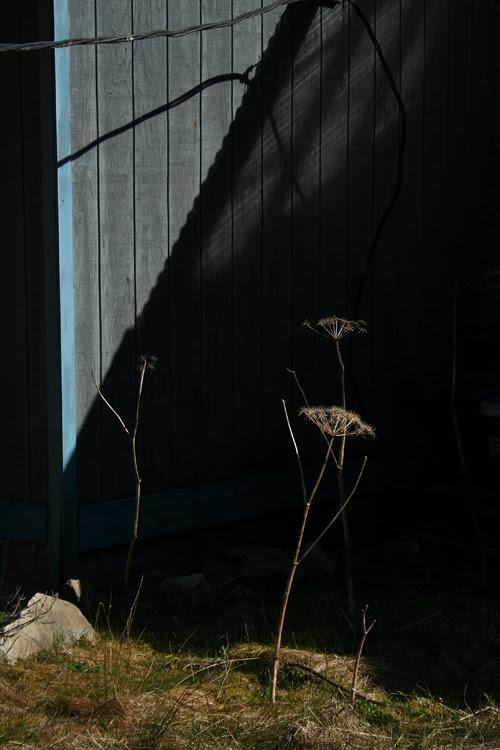 composition with dead celery, Kasaan Bay, Alaska