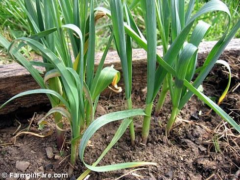 volunteer spring green garlic - In My Kitchen Garden