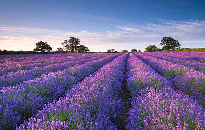 Fields of lavender in Snowshill Gloucestershire