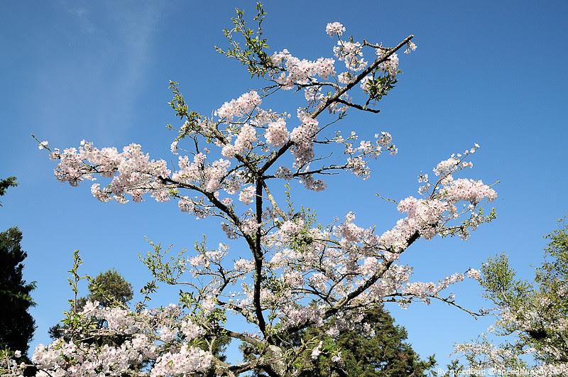 阿里山櫻花季56