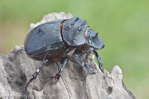 IMG_7180 copy Scarab beetle Heliocopris sp.