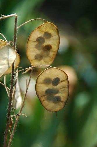 Lunaria Pods, Annie's Garden