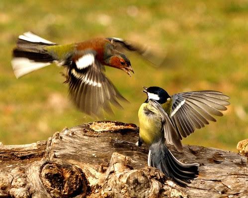 Pinzon y Carbonero peleando por la comida. by Casa Oliban