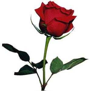 Imágenes De Rosas Imágenes