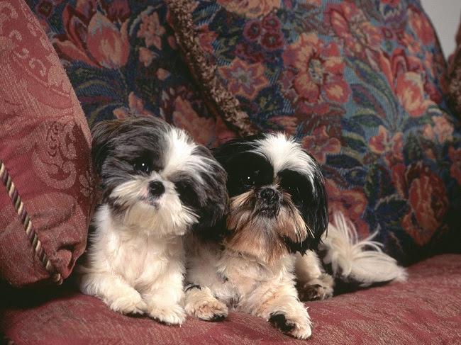 shih tzu cães pequenos