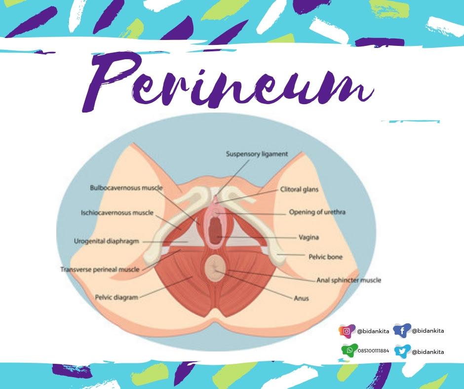 Perineum adalah area anatomi antara uretra Perawatan Perineum Paska Melahirkan