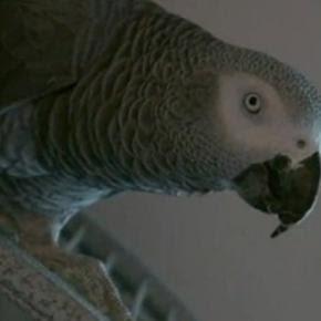 Papagaio pode ser usado como testemunha em crime
