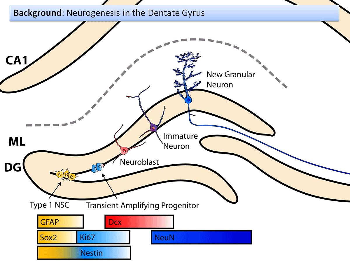 neurogenesis_in_the_dentate