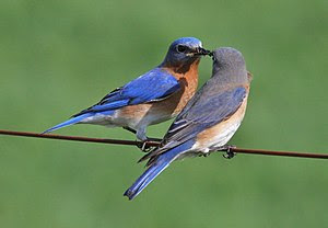 A pair of Eastern Bluebirds in Michigan, USA.