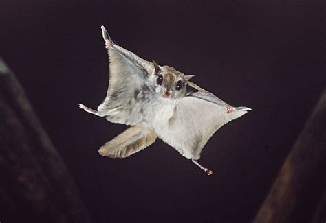 Flying Squirrels in Athens, GA   Zapp Wildlife Management