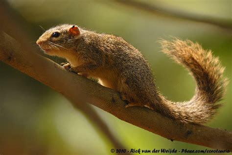 Ochre Bush Squirrel images
