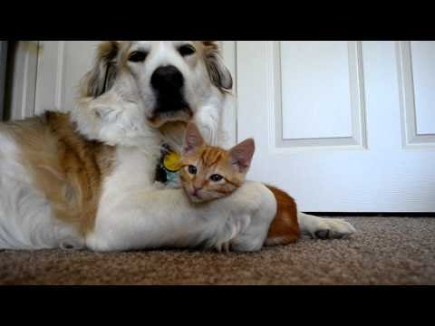 Cat Protects Kitten From Big Dog