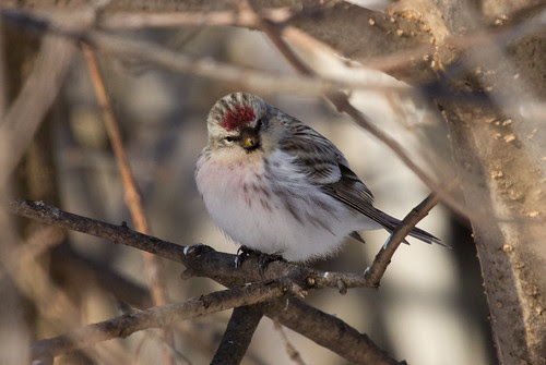Tricky little redpoll