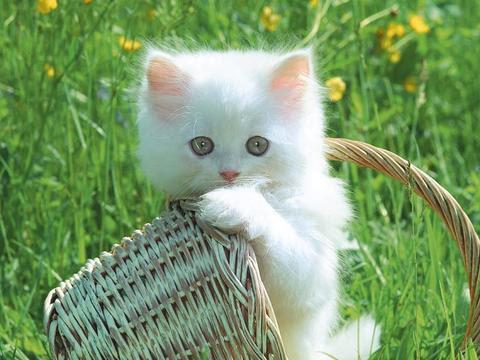 Kucing Parsi Kucing Paling Comel Kucingcomel Com